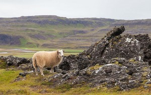 Icelandic sheep, Grábrók, Vesturland, Iceland, 08/15/2014. Diego Delso, Wikimedia Commons, License CC-BY-SA 4.0